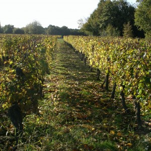 Les vignes à Lerné